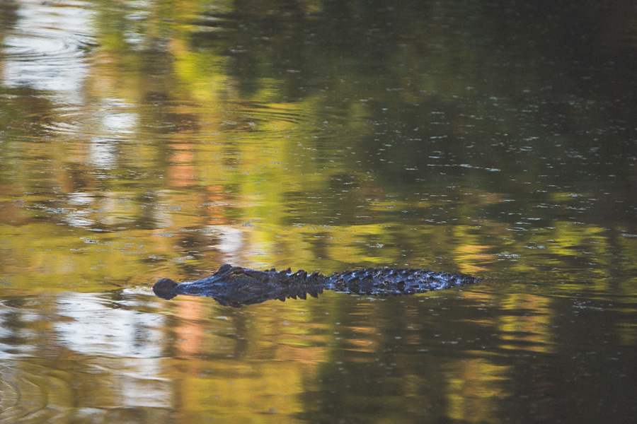 Alligators 6-04-14 (3 of 6)